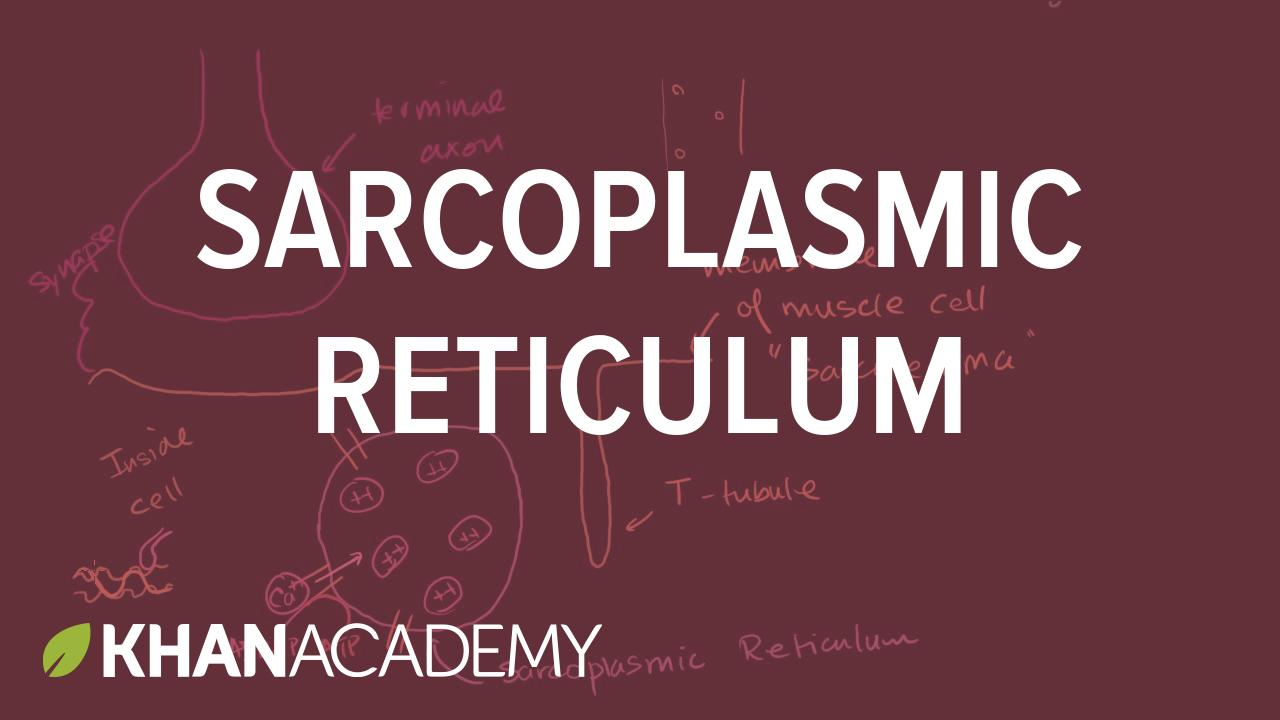 Sample thumbnail for the science video about sarcoplasmic reticulum